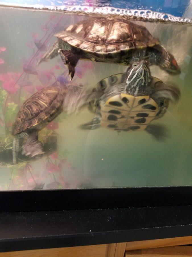 Mrs. Ninan's class turtles.